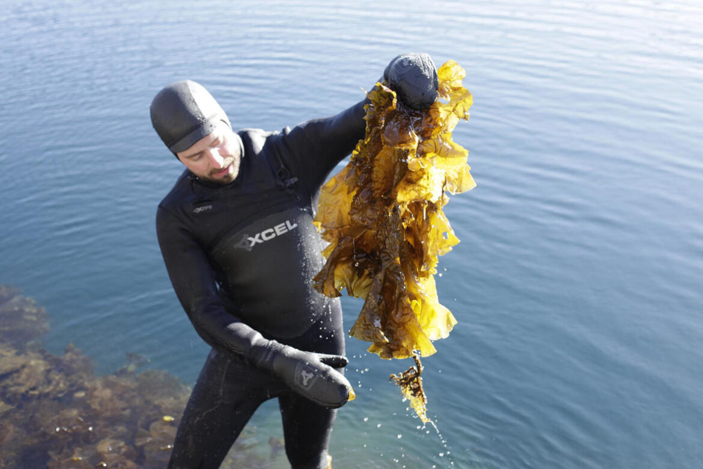 Harvesting sugar kelp
