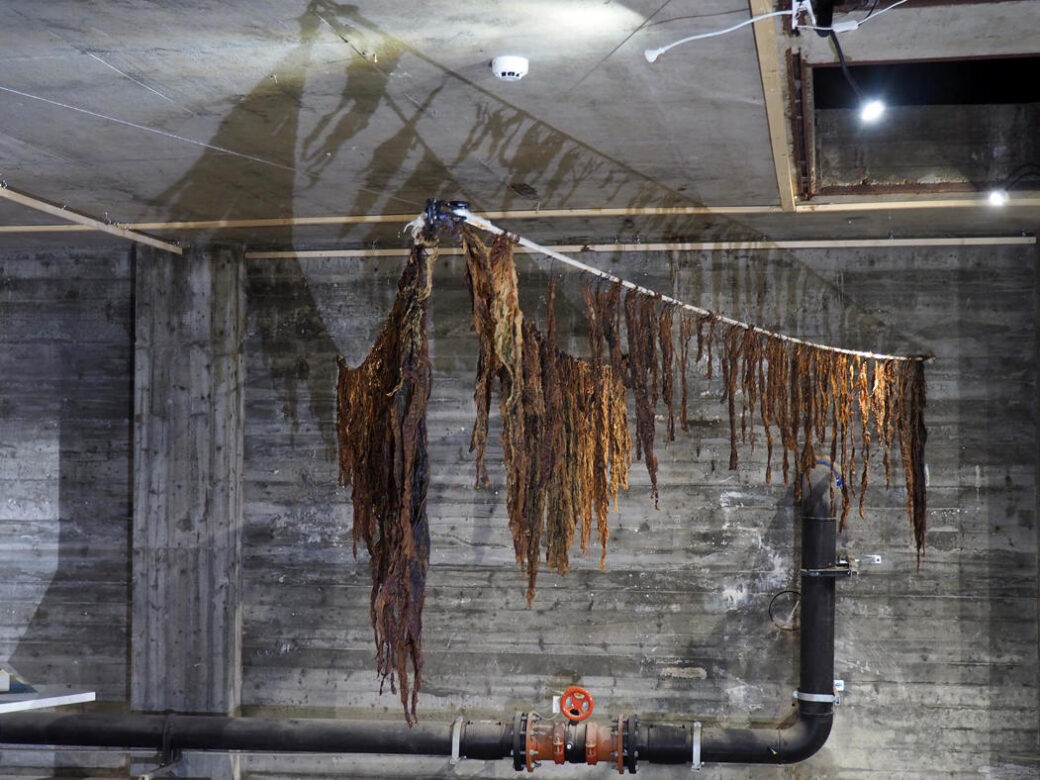 Exhibition photo: Farmed seaweed from Arctic seaweed AS